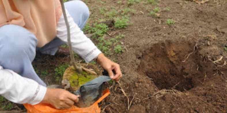 Cara Menanam Pohon Rambutan